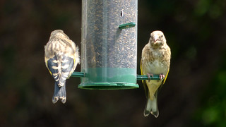 Young Goldfinches Feeding
