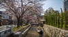 Japan Kyoto (tommyg_83) Tags: spring cherryblossom cherryblossoms kiyamachi kiyamachidori springjapan japanesetrees kiyamachistreet springtimejapan