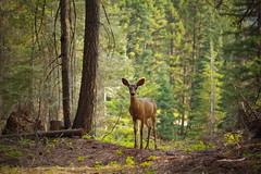 Wild deer (Jonathan_in_Madrid) Tags: wildlife deer washingtonstate 2015 da70mmf24limited pentaxk3