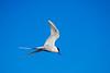Tern Flying I (jpteitti) Tags: helsinki wildlife tern commontern kallahti