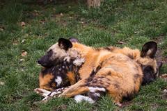 african wild dogs (Cloudtail the Snow Leopard) Tags: zoo amneville tier animal mammal säugetier afrikanischer wildhund hund african wild dog lycaon pictus cloudtailthesnowleopard