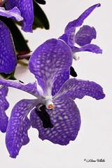 La princesa azul (Vanda Sansai Blue) (#1) (Retratista de paisajes y paisanajes) Tags: flowers blue orchid flower planta azul orchids orchidaceae vanda orquidea aire orgnico sansai orquidariodeestepona
