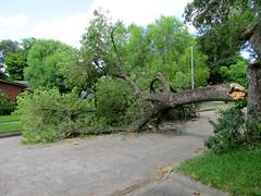 Tree Falls - Again (dog.happy.art) Tags: tree fall fallen limb hackberry streetblock