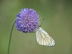 Inspiration **--- °°° (Titole) Tags: gazé papillon butterfly titole nicolefaton blackveinedwhite baumweisling grootgeaderdwitje pieridedelbiancospino niestrzępgłogowiec friendlychallenges explored thechallengefactory herowinner challengeyouwinner