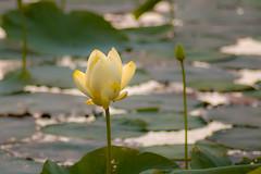 American Lotus (nikons4me) Tags: nikond70 iowa ia marsh wildflower tamacounty americanlotus yellowlotus ottercreekmarsh tamronaf70300mmf4056ldmacro