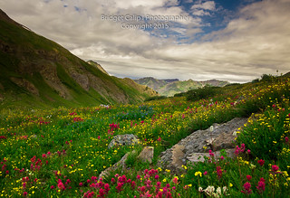 Colorado Wildflowers High in the San Juan Mountains