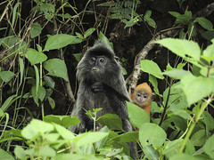 DSCN3166 (TheTimeTraveler!) Tags: life park parque wild naturaleza nature forest photography monkey mono asia little selva jungle sarawak malaysia borneo fotografia nacional bako plateado malasia jungla salvaje silvered nathional
