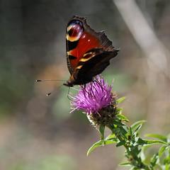 big butterfly count 2015 (Johnson Cameraface) Tags: summer macro 50mm july olympus f2 zuiko em1 peacockbutterfly 2015 zd micro43 bigbutterflycount johnsoncameraface omde1