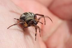 Larinioides cornutus (Cefn Ila) Tags: spider arachnid larinioidescornutus