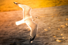 Through The Fire (Žèę Ķ) Tags: garrypoint canada vancouver seagull gull inflight sun light goldenhour warm golden wings outdoor feather detail ocean sea