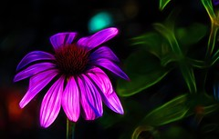 Coneflower (mp13 nhnc) Tags: coneflower echinacea purple flower leaves green brown abstraction redfield nature bloom petals stem beautiful