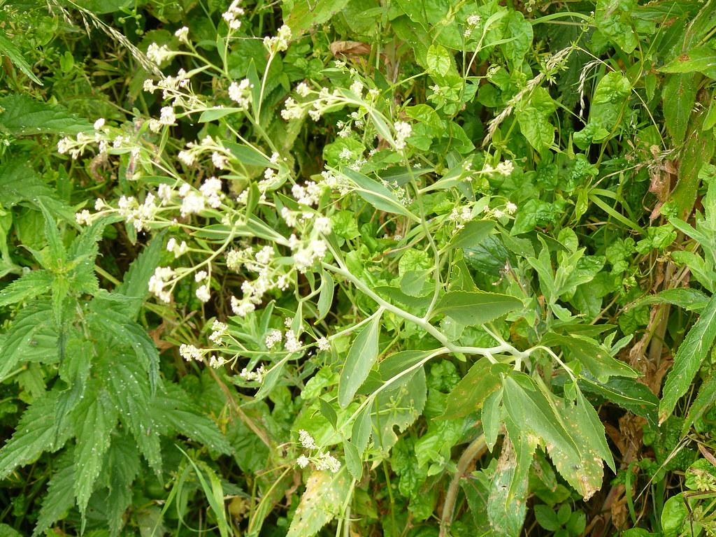 Lepidium latifolium-4