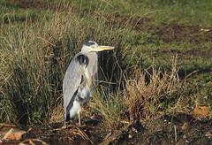 Grey Heron (Prank F) Tags: titchmarshlnr wildlifetrust northantsuk nature wildlife bird heron grey