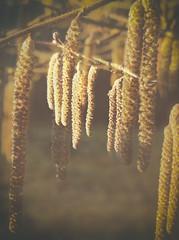 20.01.17 (Kirby_Wilson) Tags: seedpods birchseedpods nature winter glow warm doubleexposure