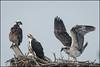 July Osprey [2] (Nikographer [Jon]) Tags: osprey bird birds nest maryland md easternshore stmichaels summer jul july 2016 nikographer nestlings 3chicks nikon d500 600mmf4 20160709d500009038