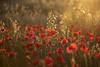 Rojo y oro (L.Barrera) Tags: amapolas poppies leobarrera campo country atardecer poppy coquelicots coquelicot sunset bodegón flowers flores red rojo dorado luz bokeh flor serenidad rojoyoro
