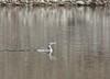 Gelbschnabeltaucher 28.12.2016 (Sven B. 1978) Tags: gelbschnabeltaucher seetaucher vogel selten