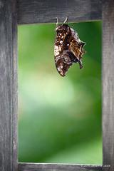 "Closed Butterfly Wings (Aruba) (runintherain) Tags: runintherain canon450dxsi canon canonxsi caribbean lesserantilles nature outdoor animals butterflies bokeh aruba ""netherlands"" abcislands dutchcaribbean arubabutterflyfarm oranjestad"