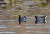 Waterkiekens / Begijnendijk Belgie (Jul Pitbull) Tags: eenden japanseeend ganzen vliegendeeenden fuut bakker eend gans