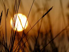 Golden sun (Wouter de Bruijn) Tags: fujifilm xt1 fujinonxf90mmf2rlmwr sunrise dawn morning nature landscape reed plant weed outdoor depthoffield bokeh