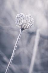 (gabriella.hafner) Tags: winter cold hideg zúzmara hungary tél foggy macro nature