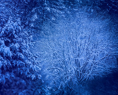 Delicate bare limbs among the conifers (GeorgeOfTheGorge) Tags: predawn lacy conifer delftblue oregon winter softlightblend snowstormaftermath snowcovered barelimbs airy baretrees barebranches delicate bluelight january beaverton unitedstates us