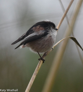 Tail-less tit