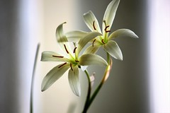 Togetherness II (Amirtha :)) Tags: zephyranthes lily rain cream ngc