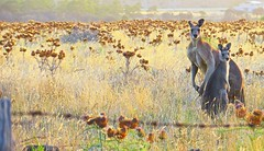 A couple of Roo's at Sun Down! (maginoz1) Tags: flora abstract art contemporary manipulate gumtree kangaroos february 2017 summer bulla melbourne victoria australia canon g3x