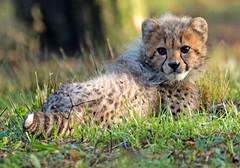 cheetah Burgerszoo JN6A9001 (j.a.kok) Tags: cheetah jachtluipaard acinonyxjubatus acinonyxjubates burgerszoo burgerzoo cat kat predator africa afrika mammal