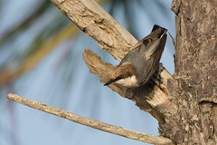 Brown-headed Nuthatch (stephaniepluscht) Tags: alabama 2017 bon secour national wildlife refuge brown headed nuthatch brownheaded head
