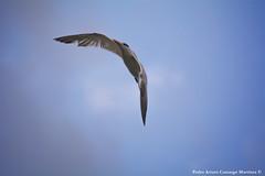 Thalasseus maximus - Gaviotín Real - Royal Tern