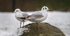 Black-headed Gull (Paula Darwinkel) Tags: blackheadedgull gull seagull birds bird winter snow animals wildlife nature
