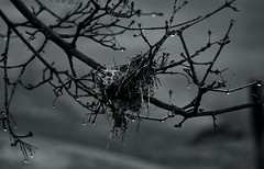 abandoned nest (*Millie* (Catching up slowly)) Tags: monochrome blackandwhite abandoned nest fog rainy rain sad raindrops afterrain amateurphotography bokeh canon eos rebelt6i t6i outdoor bird darkness inspiredbylove nature outdoors tree branch twig water