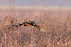 ShortEaredOwl-0017.jpg (vorneo) Tags: shortearedowl bird wild birdofprey seo classaves orderstrigiformes familystrigidae genusasio phylumchordata speciesaflammeus wildbird kingdomanimalia binomialnameasioflammeus