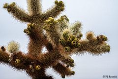 Cholla Cactus (PJ Resnick) Tags: joshuatreenationalpark palmsprings20162017 perryjresnick pjresnickgmailcom pjresnickphotographygmailcom ©2017pjresnick ©pjresnick nature pjresnick light fuji fujifilm atmosphere atmospheric digital shadow texture shadows yellow angle perspective naturallight white xf fujinon resnick plant outdoor green brown orange rectangle rectangular color colour sky clouds blue xpro2 fujifilmxpro2 desert sun ca 4x6 35mm fujinon35mmf14 35mmf14 chollacactus chollacactusgarden cactus
