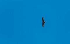 Red Kite (haslo) Tags: red kite milan bird silhouette schweiz switzerland flying olympus bern prey omd em1 115in2015