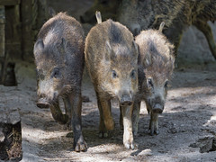 Three young wild boars running! (Tambako the Jaguar) Tags: wild portrait switzerland pig three nikon funny young running together hungry zürich animalpark wildboar d4 tierparklangenberg