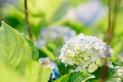 20150530-DSC07965 (sigma9988) Tags: flower 50mm f14 taiwan yang taipei hydrangea shan ml yashica  blooming mung  macrophylla   vsco