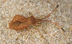 Bug - Syromastus rhombeus (timz501) Tags: bug jersey coreidae syromastusrhombeus