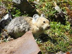 Rock Rabbit (Pica) (pamfromcalgary) Tags: cute nature animal kananaskis rodent pica alberta wildanimal rockrabbit pamhawkes