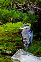 Great Blue Heron-Seattle Japanese Garden (Aurora Santiago Photography) Tags: greatblueheron seattlejapanesegarden