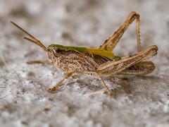 Caelifera (Denis Bourez) Tags: france macro insect îledefrance olympus cricket insecte omd criquet em5 villeparisis