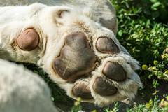 paw (techietone) Tags: animals wildlife mammals bigcats wildlifeheritagefoundation