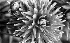 Botanischer Garten Munich 1 (Montiel Photo Atelier) Tags: flowers macro film nature canon blackwhite filmphotography ilfordpanfplus canoneos1v panfplus50 ef100mmmacrof28