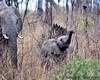 South Africa--Kruger Two 010 (REBlue) Tags: southafrica mpumalangaprovince krugernationalpark africanelephant bigfive