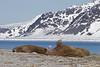 Walrus (Robert Horne Wildlife Photography) Tags: walrus odobenusrosmarus spitsburgen svalbard arctic arcticcircle mammal marine odobenidae smeerenburgfjorden smeerenburg norway satellitetag tag gps