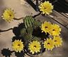 Echinopsis grandiflorus 'Mellow Yellow' (l.e.violett) Tags: cactus flowers cultivated echinopsis grandiflorus mellowyellow arizona pse