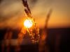 Sundowner (Vintage lens lover) Tags: bokeh gräser gras omd m43 sunset grasses natur januar olympus domiplan meyergörlitz vintagelenslover 50mm manualfocus