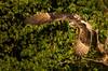 Osprey (Pandion haliaetus) (airfoiln) Tags: raptor fish eagle seahawk specanimal